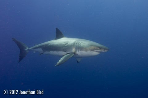A Great White shark in the waters around Guadalupe, Mexico.