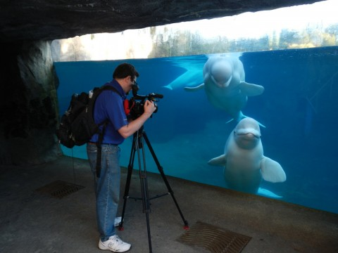 Editor Tim filming belugas, while they watch him in amusement.