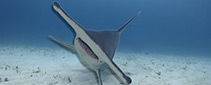 Tilted Hammerheads - Did you know that Great Hammerhead sharks often swim tilted to the side?