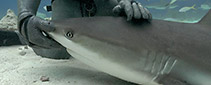 Shark Tonic Immobility - Did you know sharks can be put into a relaxed state?