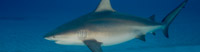 Bull Sharks - Did you know that Bull sharks are considered the world's most dangerous shark?