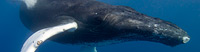 Humpback Whales - Did you know Humpback whales migrate thousands of miles every year?