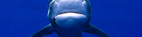 The Shark and the Whale - Did you know there is a shark that follows pilot whales?