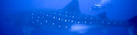 Whale Sharks - Did you know the world's largest fish is in fact a shark?