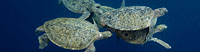 Sea Turtles - Did you know it's tough to be a female sea turtle?