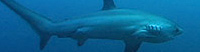 The Shark with the Tall Tail - Did you know that a Thresher Shark's tail is as long as its body?