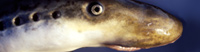 The Shark and the Lamprey - Did you know there is a fish that can drink a shark's blood like a vampire?