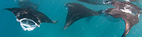 Manta Ray Feeding Frenzy! - Did you know that manta rays have feeding frenzies?