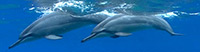 Hawaiian Spinner Dolphins - Did you know that dolphins can sleep while they swim?