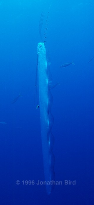 A live Oarfish photographed on an expedition to the Bahamas. Photo by Jonathan Bird.