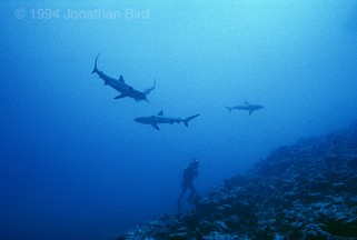 Tom surrounded by Gray Reef Sharks at Kwajalein Atoll. Photo by Jonathan Bird.