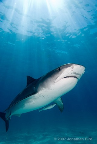 At last, a Tiger shark! Photo by Jonathan Bird.