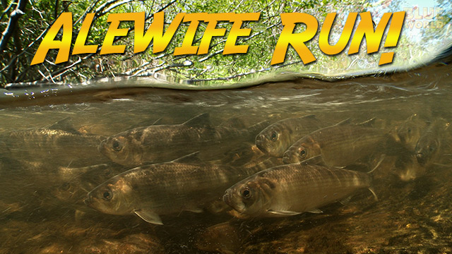 Latest Webisode: The Alewife Run