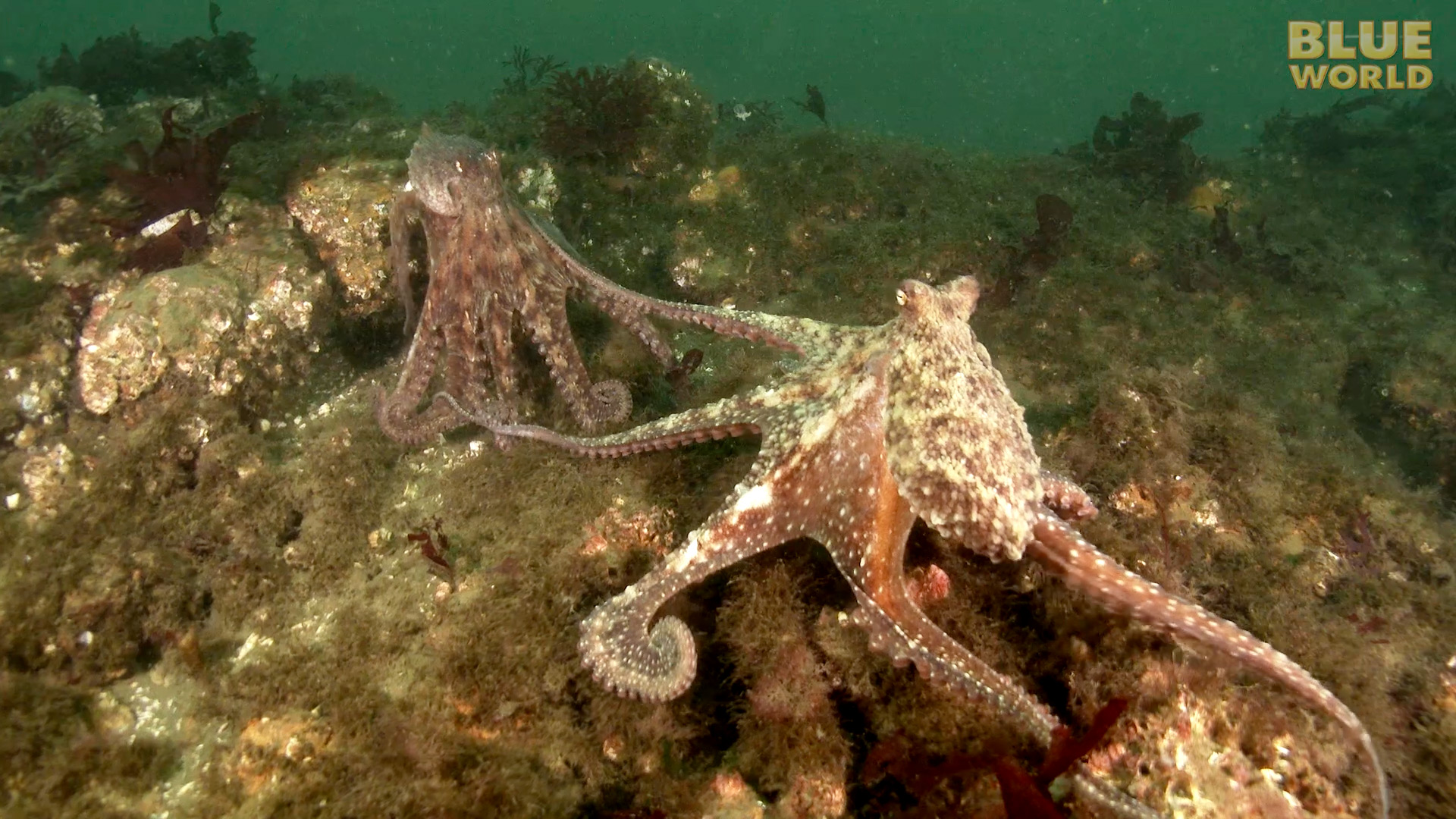 Latest Webisode: Giant Pacific Octopus Adventure!