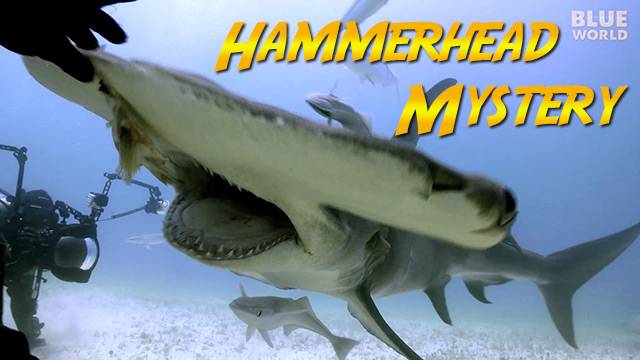 Latest Webisode: Great Hammerhead Shark Mystery