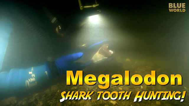 Latest Webisode: Megalodon Shark Tooth Diving