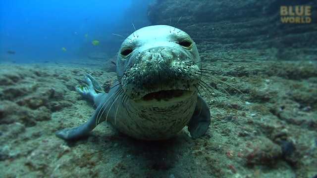 Latest Webisode: Hawaiian Monk Seals