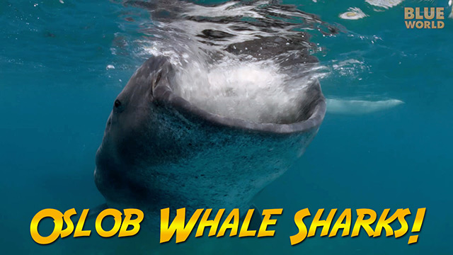 Latest Webisode: Philippines Whale Sharks