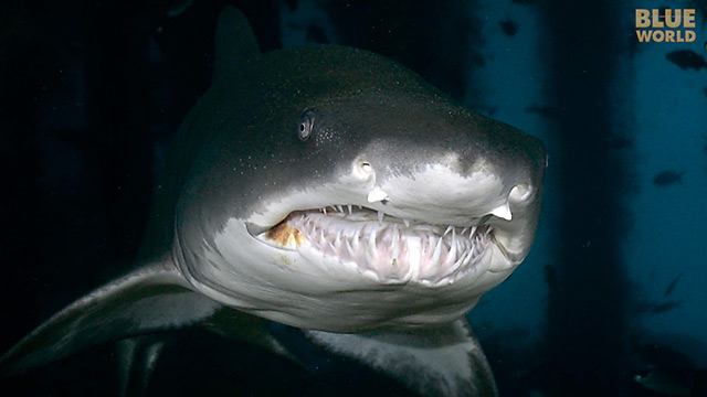 Latest Webisode: Sand Tiger Sharks of North Carolina