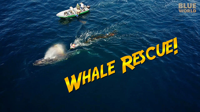 Latest Webisode: Humpback Whale Rescue!