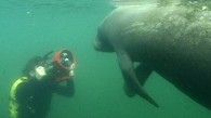 Swimming with Sea Cows