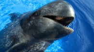 Sully the Pilot Whale