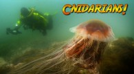 What are Cnidarians?