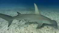 Great Hammerhead sharks!