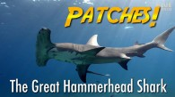 Patches the Hammerhead Shark
