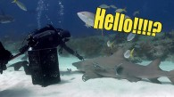 Chillin' Lemon Shark
