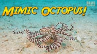 Search for the Mimic Octopus