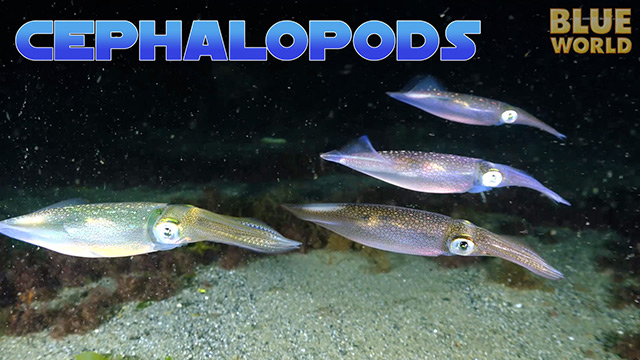 Latest Webisode: Cephalopods!
