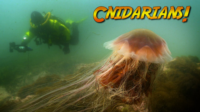Latest Webisode: What are Cnidarians?