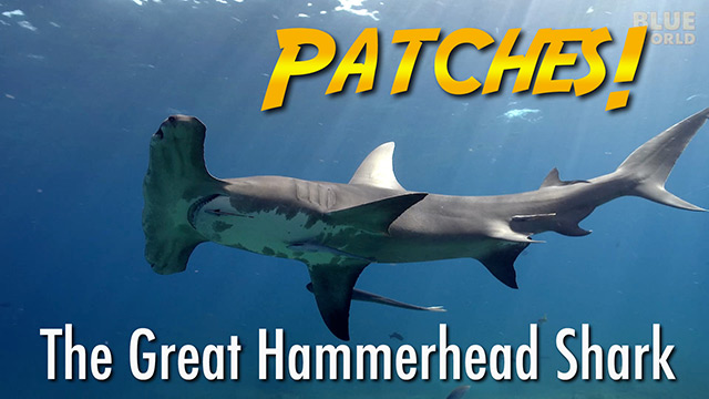 Latest Webisode: Patches the Hammerhead Shark