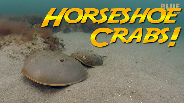 Latest Webisode: Horseshoe Crabs