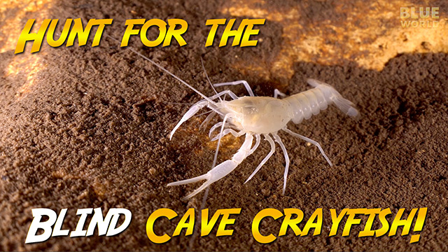 Latest Webisode: Blind Cave Crayfish Quest