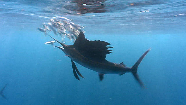 Latest Webisode: Sailfish!
